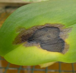 Crown Rot is a Common Orchid Disease