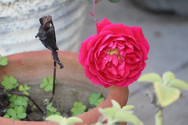 diseased rose rotten
