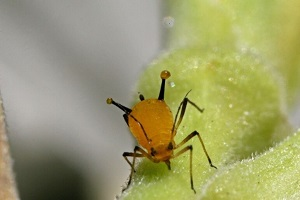 Aphid on new growth