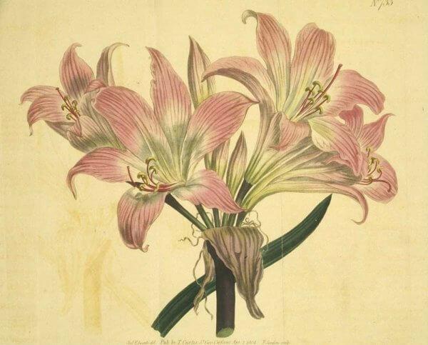 lilies drawning
