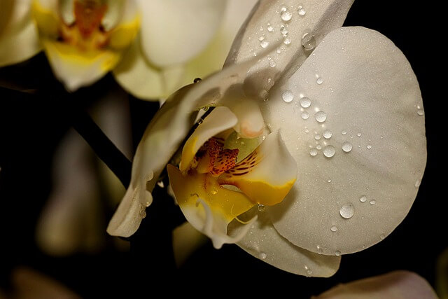 water drops on white orchid