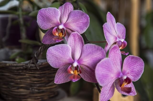 orchids inside a pot