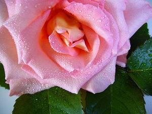 pink rose in water drops