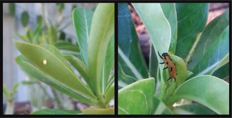 (Left) A butterfly egg. (Right) A caterpillar.