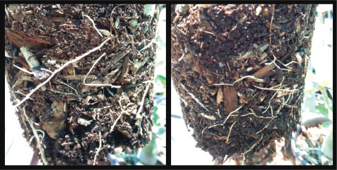 disease-free roots